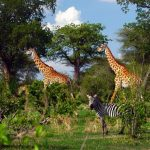 ruaha national park_thumb_opt
